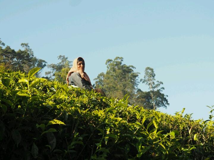Happy woman picking tea leaves at plantation in Munnar India