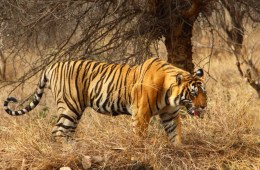 Tiger Safari - tiger in wild at national park in India