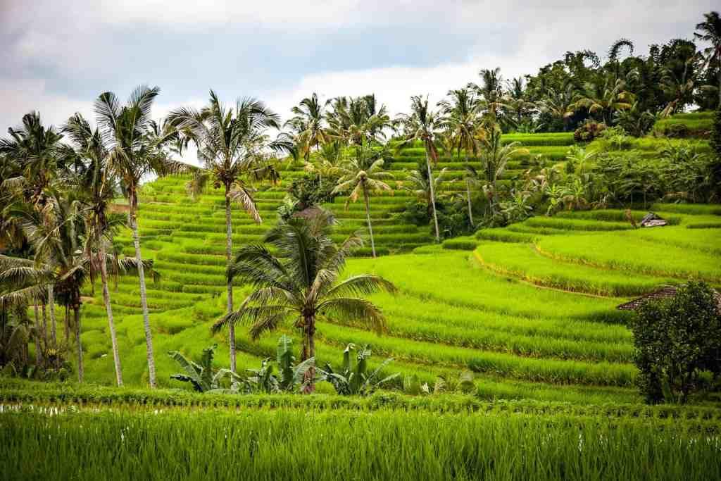 The beautiful rice fields of Bali.