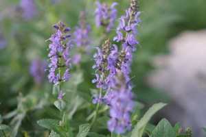 salvia in the garden