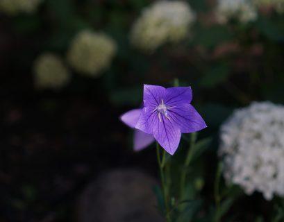 purple balloon flower spring