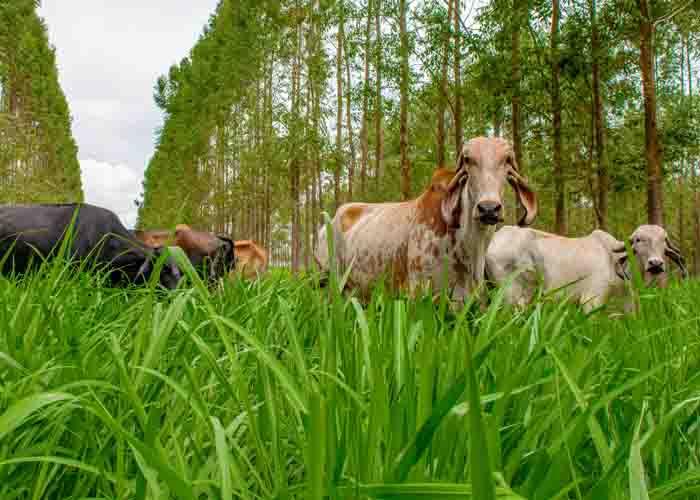 sombreamento-pasto-vacas-leiteiras-producao-qualidade-do-leite-reproducao-embrioes-ilpf