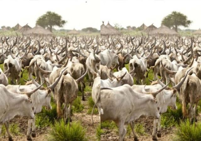 Cows may cost N2m each if Lagos passes anti-grazing bill - Miyetti Allah