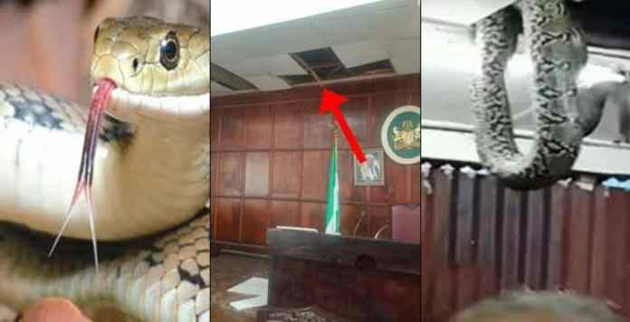 Pandemonium As Three Snake Chase Lawmakers