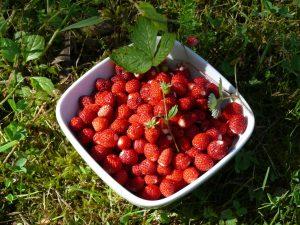fraise des bois morvan cueillette gîte de la colombière