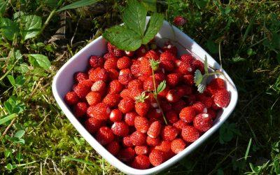 Cueillette -C'est le temps des fraises des bois
