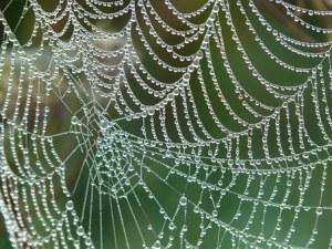 Spindelvæv med morgendug