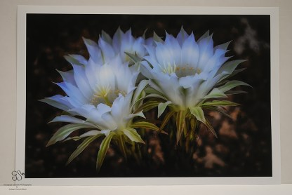 Echinopsis Flowers Photo (cm 45 x cm 30) Print: Ilford Galerie Smooth Pearl (310gsm)