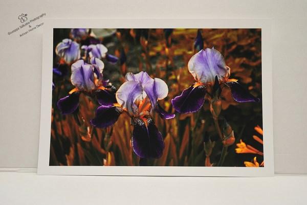 Iris of August