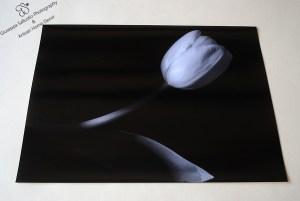 Tulip in velvet light