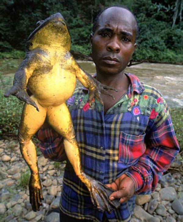 Super-sized animals: African Goliath Frog