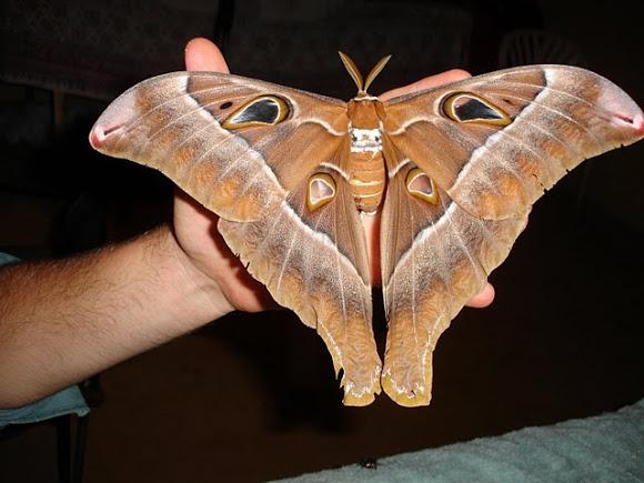 Super-sized animals: Hercules Moth