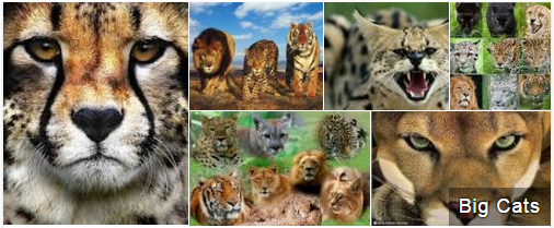 Big Cats of India - GKToday