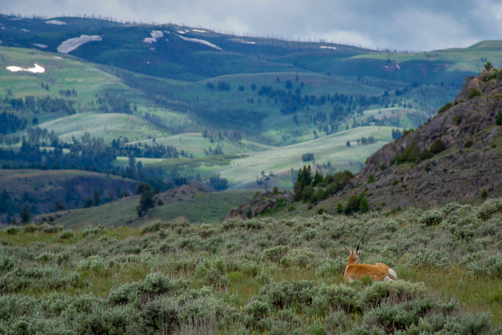 Pronghorn in Lamar Valley, Yellowstone National Park