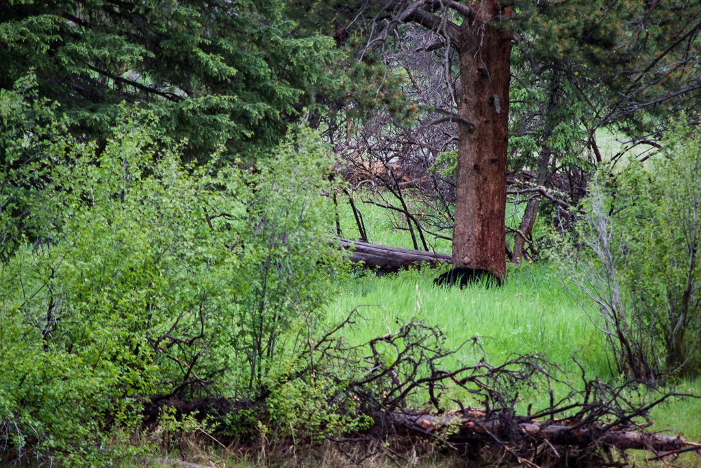 Black bear scratching against a tree, Slough Creek Campground, Yellowstone National Park