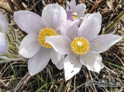 Pasque flowers, Mueller SP, CO.