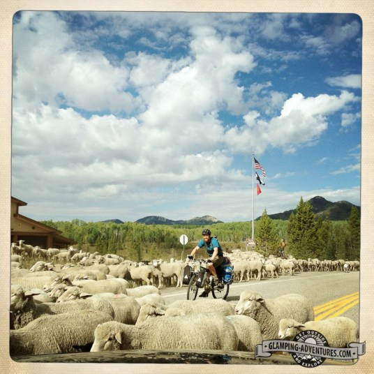 Sheep herding.