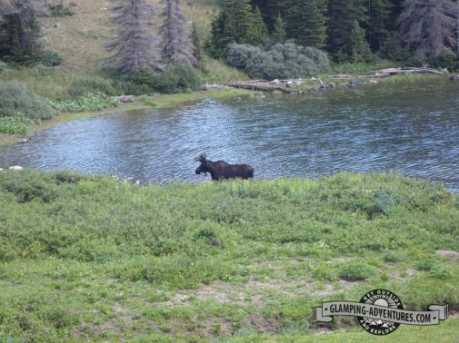 Moose lunching next to a lake, WY.