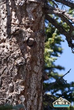 Flicker nest. Pawnee CG.