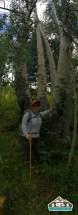 Giant aspens along Kilpacker Trail.