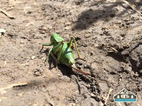 Giant grasshopper along, Kilpacker Trail.