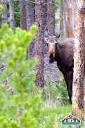 Moose in RMNP.