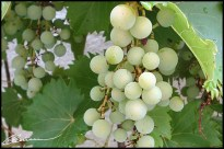 Fallait bien les prendre en photo... avant que les étourneaux ne les aient tous bouffés ! (Vigne du jardin, totalement bio, Lyon, août 2003.)