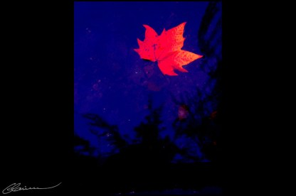 Starleaf. (Parc de la Tête d'Or, Lyon, France, octobre 2003.)