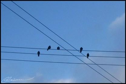 Birds on strings. (Québec, Canada, février 2004.)