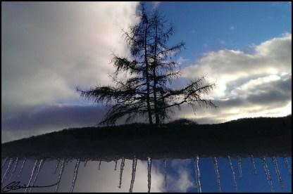 De drôles de racines pour ce mélèze. (St-Mathieu-du-Parc, Québec, novembre 2013)
