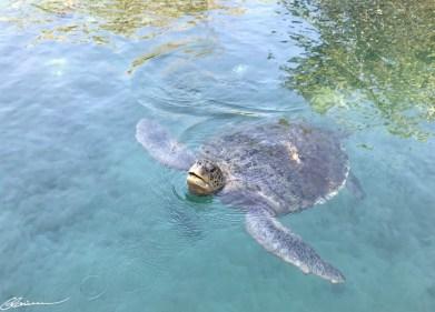 J'aime un peu trop les tortues géantes! (Parc XCaret, Mexique, janvier 2017)
