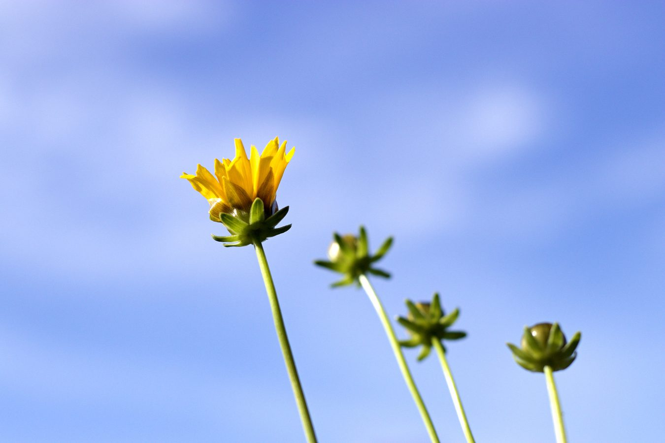 Yellow daisy: Excuse me while I kiss the sky.