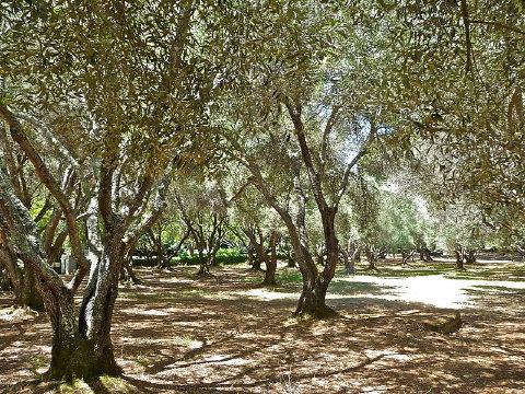 Olive Trees – Art Poskanzer