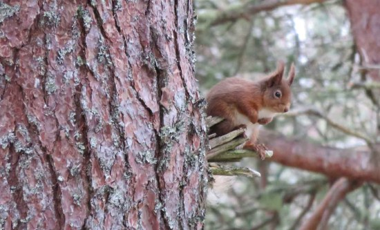 Red Squirrel. Caledonian Forest