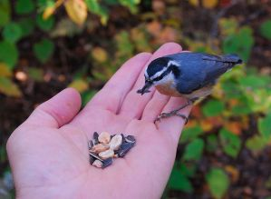 800px-Red-breasted_Nuthatch_(Sitta_canadensis)_-feeding_from_hand