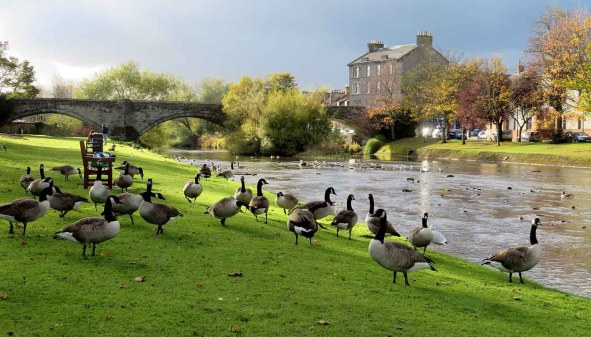 Canada Geese. Musselburgh. River Esk.