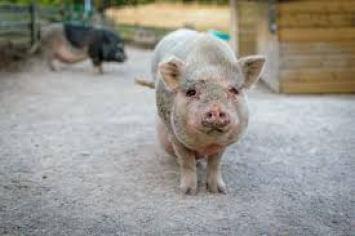 pig third para