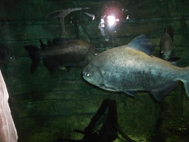 big fish st andrews yonza