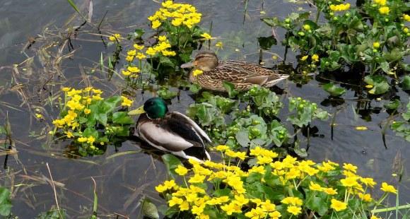 The Beauty of Mallard Ducks