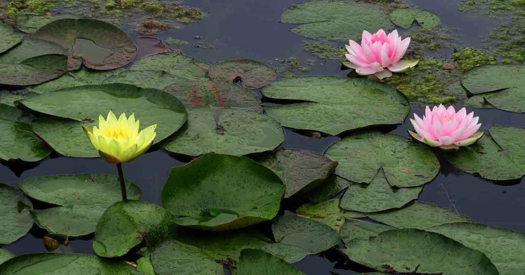 Water Lilies. Rouken Glen Pond in Late July