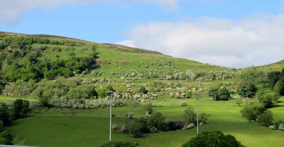 Cattle. The Kilpatrick Hills in Early June
