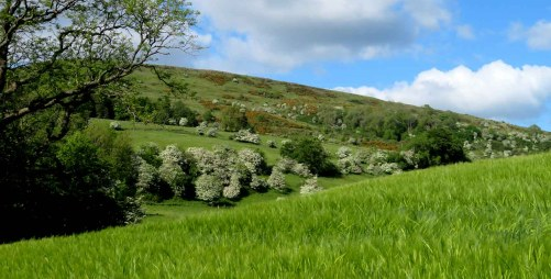 Field of Corn. Kilpatrick Hills