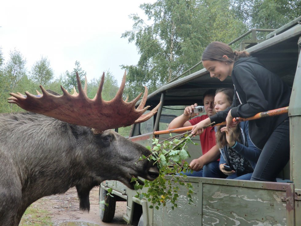 Meet Moose In Their Natural Habitat On A Moose Safari In Sweden Glasrikets Moose Park In
