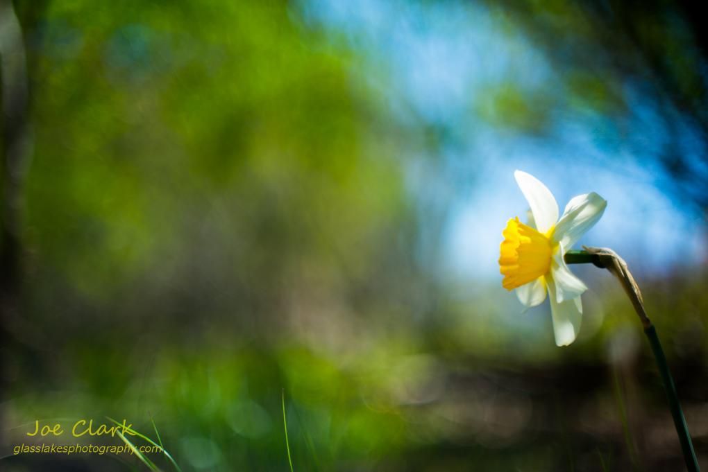 Spring Flower 3  by Joe Clark www.glasslakesphotography.com