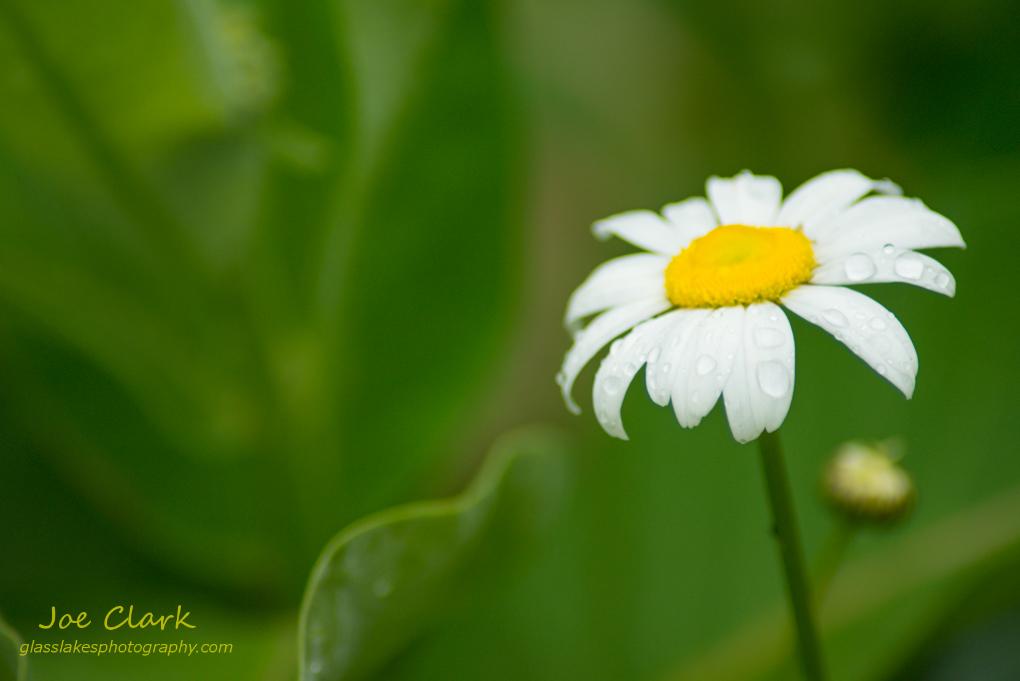 Rain drops remain on a flower pettel. By Joe Clark www.glasslakesphotography.com