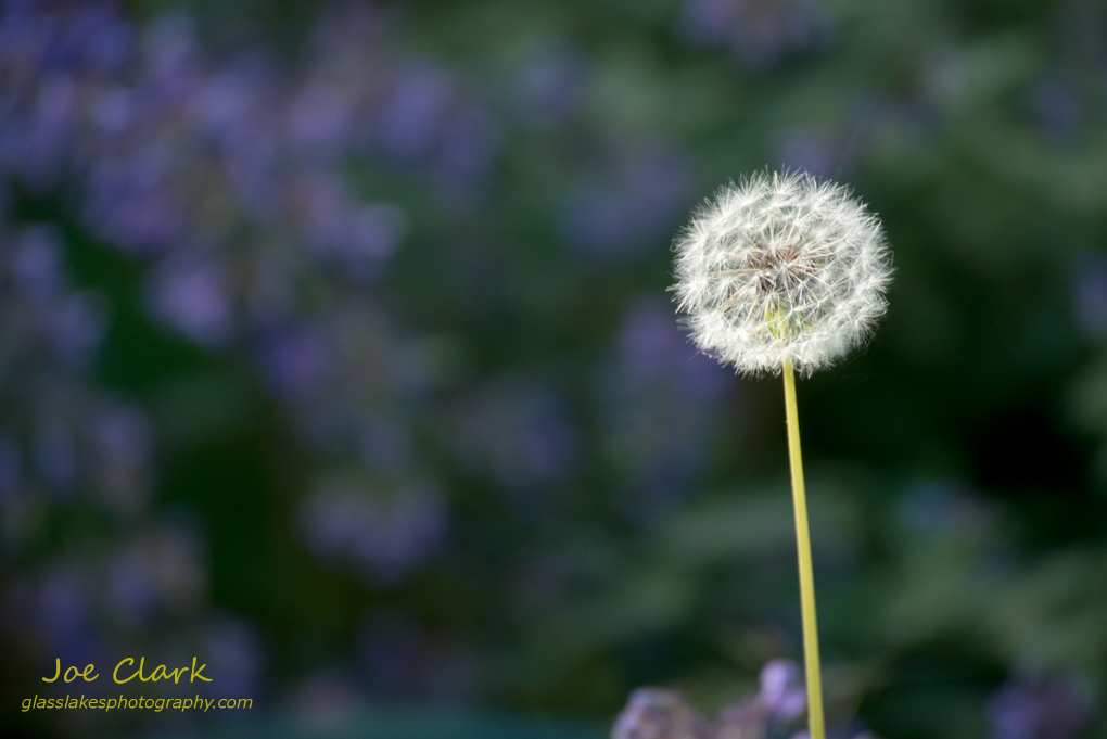 Dandelion seeding by Joe Clark www.glasslakesphotography.com