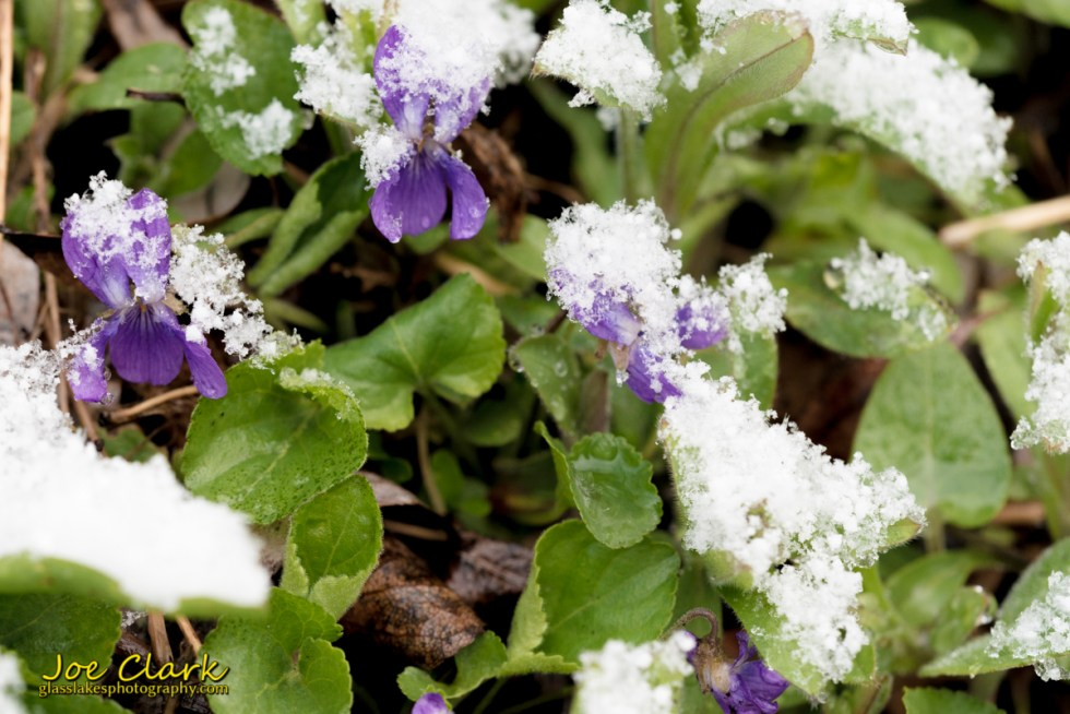 purple flowers in spring snow joe clark photographer