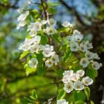 Apple Blossems spring northern michigan petoskey charlevoix traverse city photographer Joe Clark