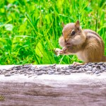 chipmunk photographer Joe Clark northern Michigan