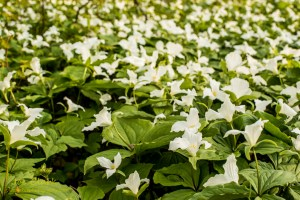 Trilliums in Leelanau County. By Joe Clark.